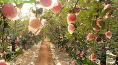 陕西水晶红富士苹果膜袋