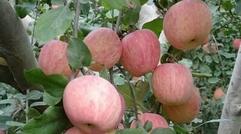 陕西水晶红富士苹果