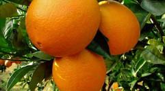 江西赣南脐橙