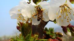 梨花真漂亮