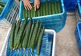 黄瓜正在大量收购中,有合作意向可以联系15906353690