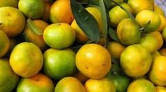 柑橘秋稍不转绿的四大影响!严重影响果实转色