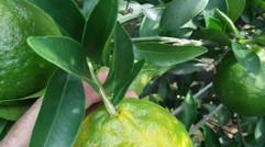 柑橘转色褪绿期果子不正常表现